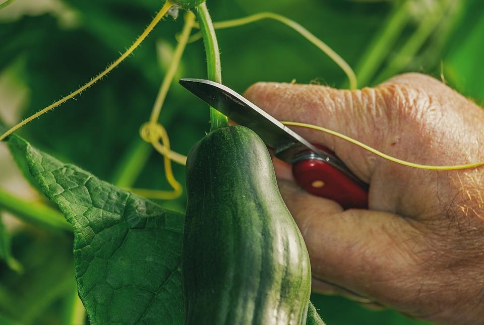 Domácí pěstování
