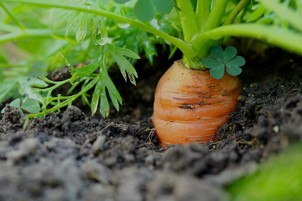 Pěstovat zeleninu v bytě je jednoduché